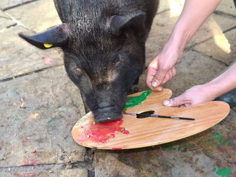 micro pig mikey painting a canvas