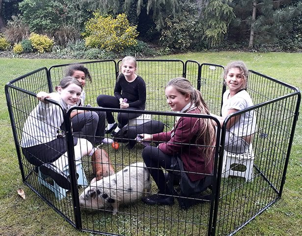 micro pigs for schools