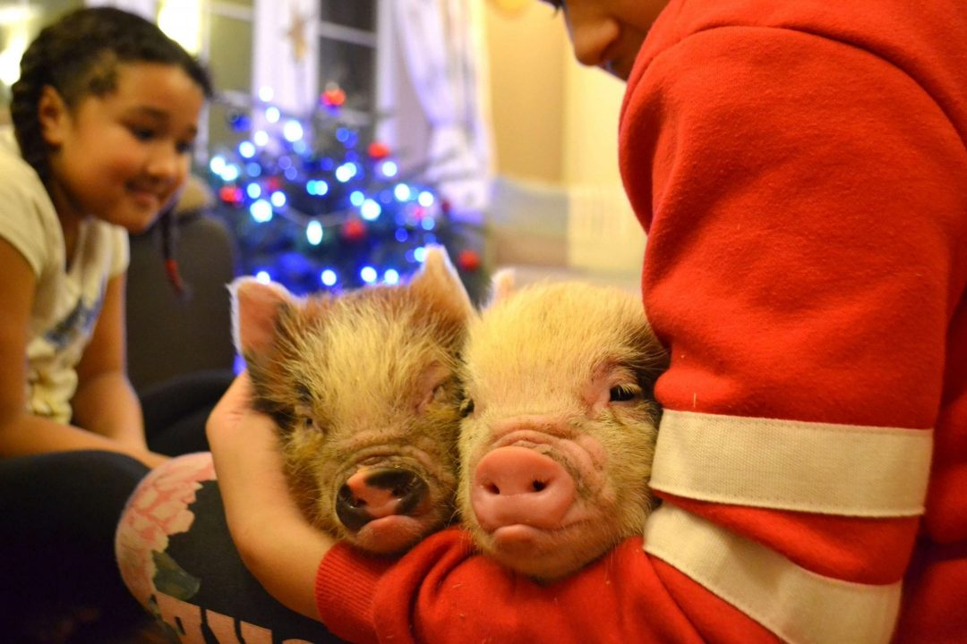 two micro pigs being held by a child in london UK