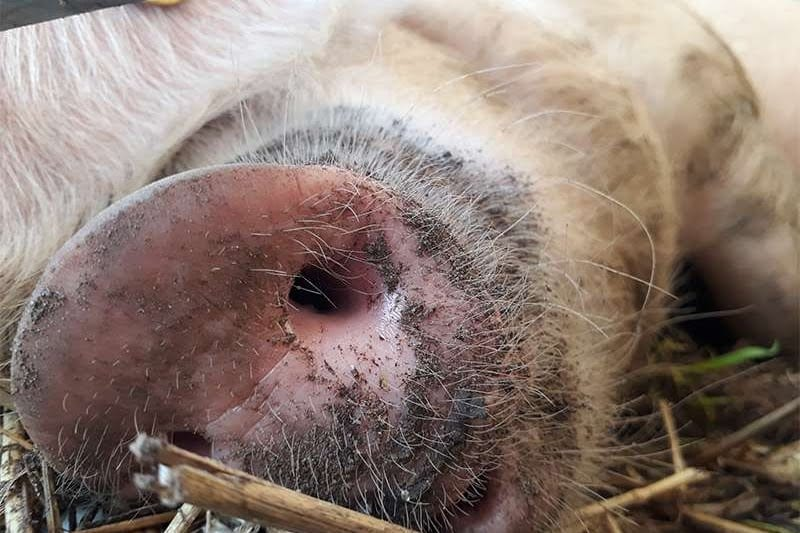 a pig's snout covered in mud