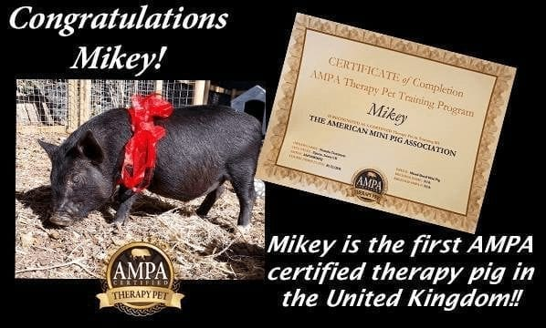 Mikey the mini pig