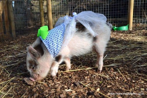 a pretty mini piglet during borrow my piggy visit in london