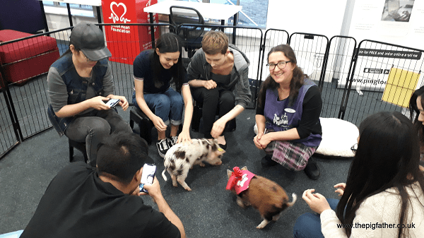micro pig therapy