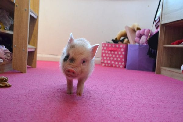 micro pigs as pets in uk