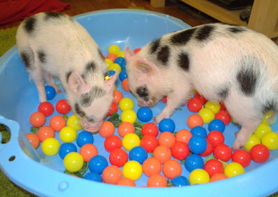Two micro piglets playing in a ball pit London