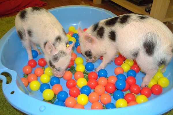 miniature pigs in uk