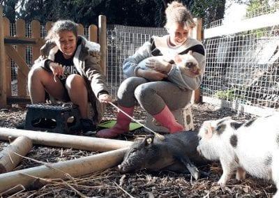 three friendly micro pigs cuddled by children