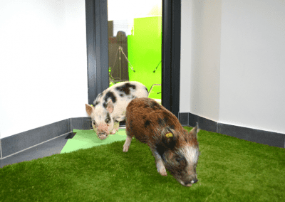 Micro Pigs for Film and TV London Holly and Polly