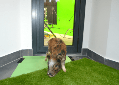 Holly the micro piglet waiting to be filmed