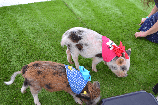 micro pigs Holly and Polly at Victoria and Albert museum