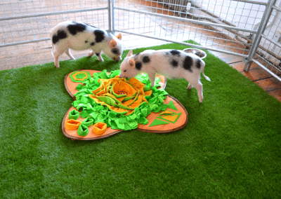 micro pigs playing on pet mat whilst waiting for the filming shoot
