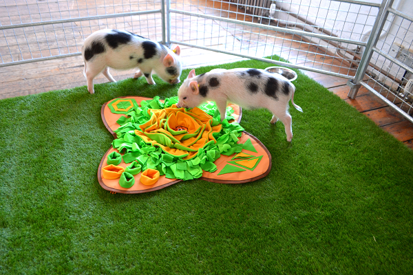 buy a micro pig in uk