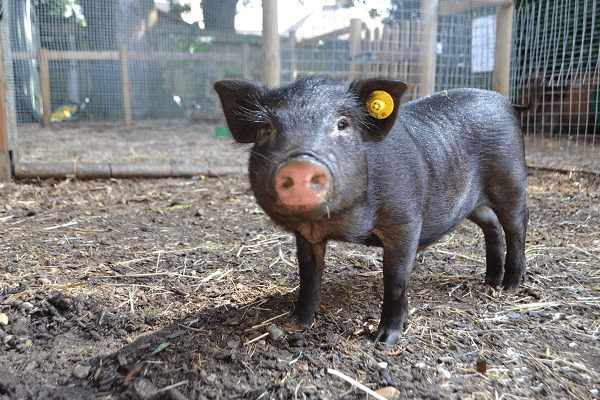 buy a miniature pig uk