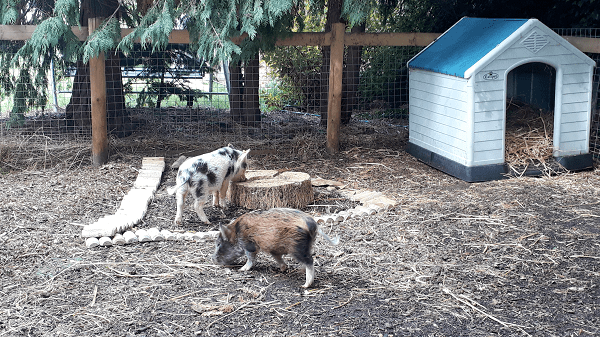 mini pigs playing in their enclosure