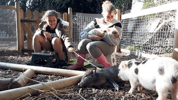 why consider miniature pigs as pets uk