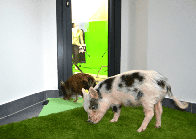 micro pig Polly on a filming set for LADBible promotional video