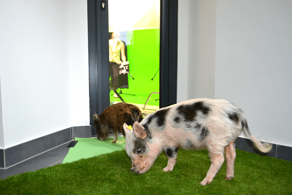 micro pigs for filming london