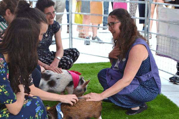 micro pigs holly and polly meeting museum visitors