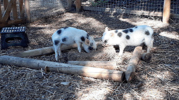 micro pigs rooting