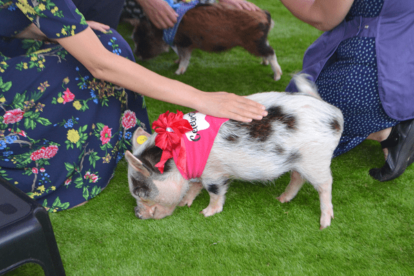 micro pig polly enjoying petting