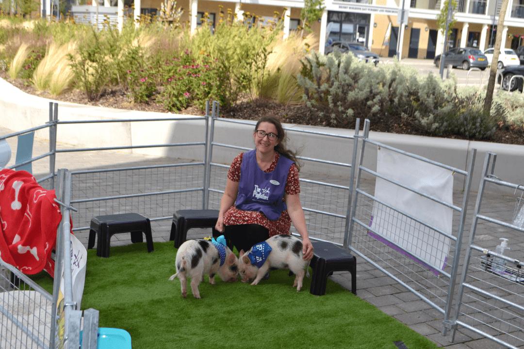micro pig health and welfare