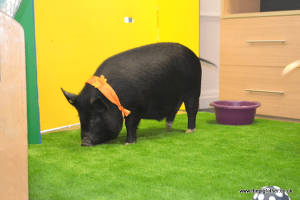 miniature pig Mikey at a Corporate Party in London