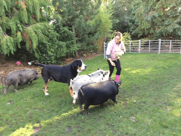 three pigs following a trainer in a park in london