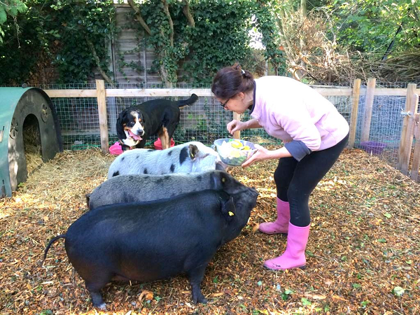 miniature pigs mikey, sunny and connie learning new commands in london
