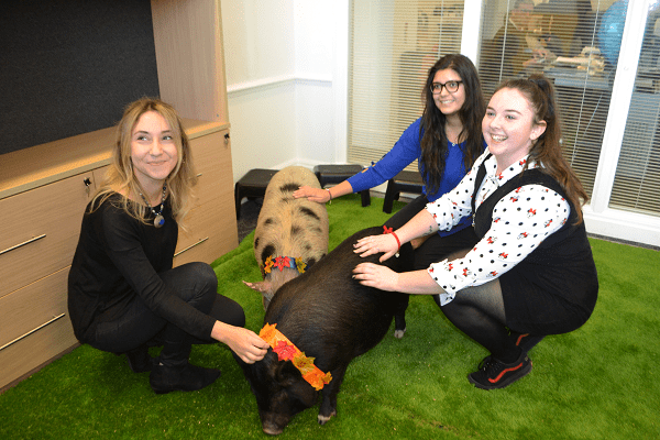 miniature pigs at an office party in london