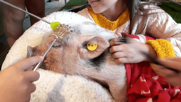 miniature piglet popcorn being scratched with back scratchers london
