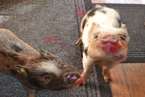 micro pigs holly and polly with snouts covered in paint after painting