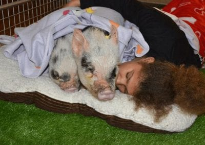 sleeping miniature pigs with a child in london