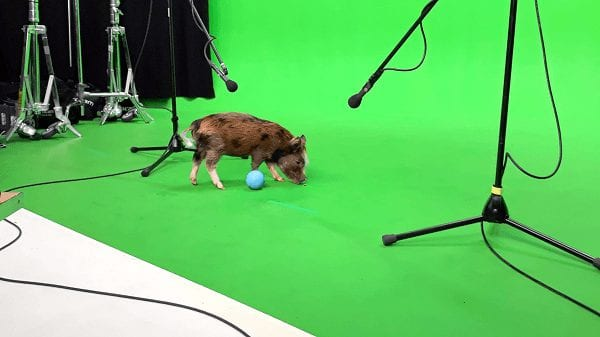 miniature pig holly on a set for LADBible filming in London