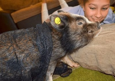 miniature pig holly with a child