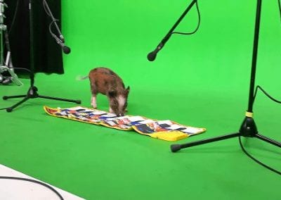 miniature pig holly walking on a piano at a video shoot in london
