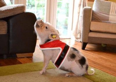 miniature pig popcron wearing a christmas costume