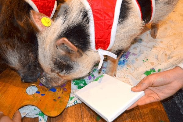 snoutart by miniature pigs holly and polly