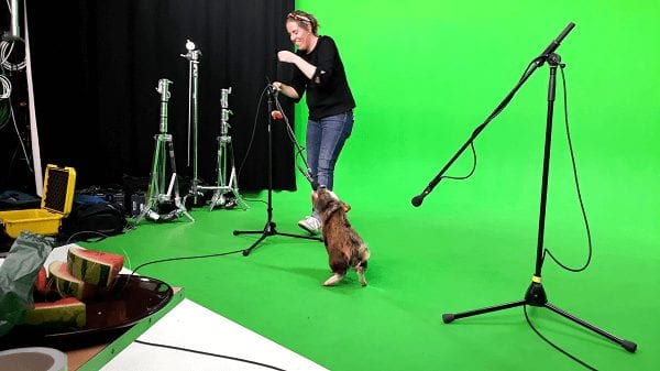 micro pig holly at a filming studio in london uk