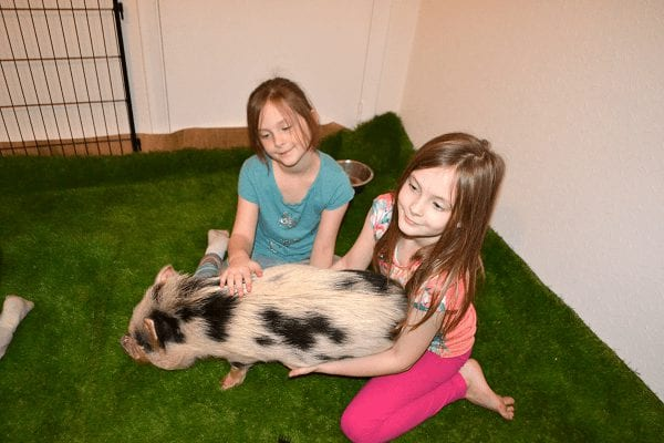 two girls cuddling a miniature pig polly during their birthday party in surrey