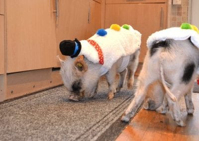 Miniature Pigs Biscuit and Popcorn in Christmas Snowman Costumes