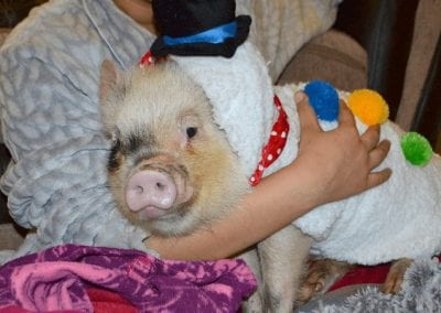 Miniature Pig Popcorn being cuddled wearing a Snowman costume