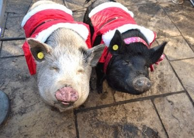 Miniature Therapy Pigs Mikey and Sunny wearing beautiful Christmas costumes