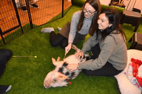 miniature pig polly enjoying a tummy scratch at a child's party london