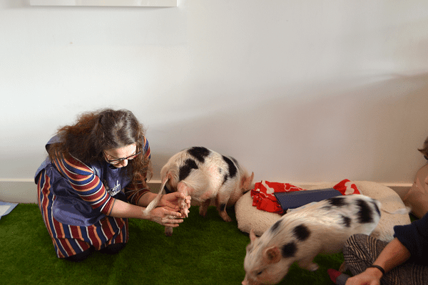 Miniature Pig Education in practice at a party in London uk