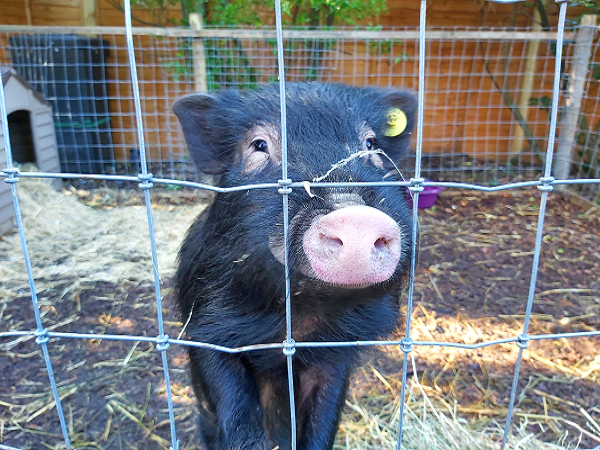 Romeo the Miniature Pig at the pigfather