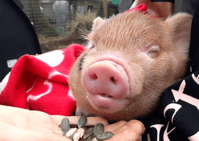 a sleeping ginger micro piglet london