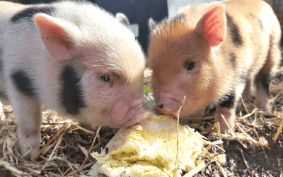 The Life of a Piglet: From Birth to Weaning. Part 1