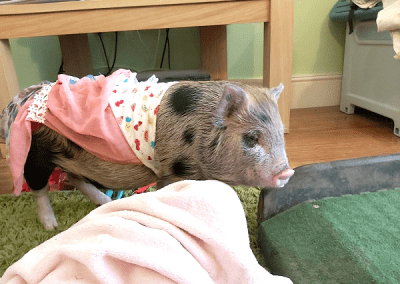 a dressed up miniature piglet in london