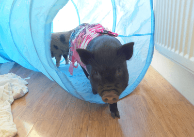 a black miniature piglet in a play tunnel uk