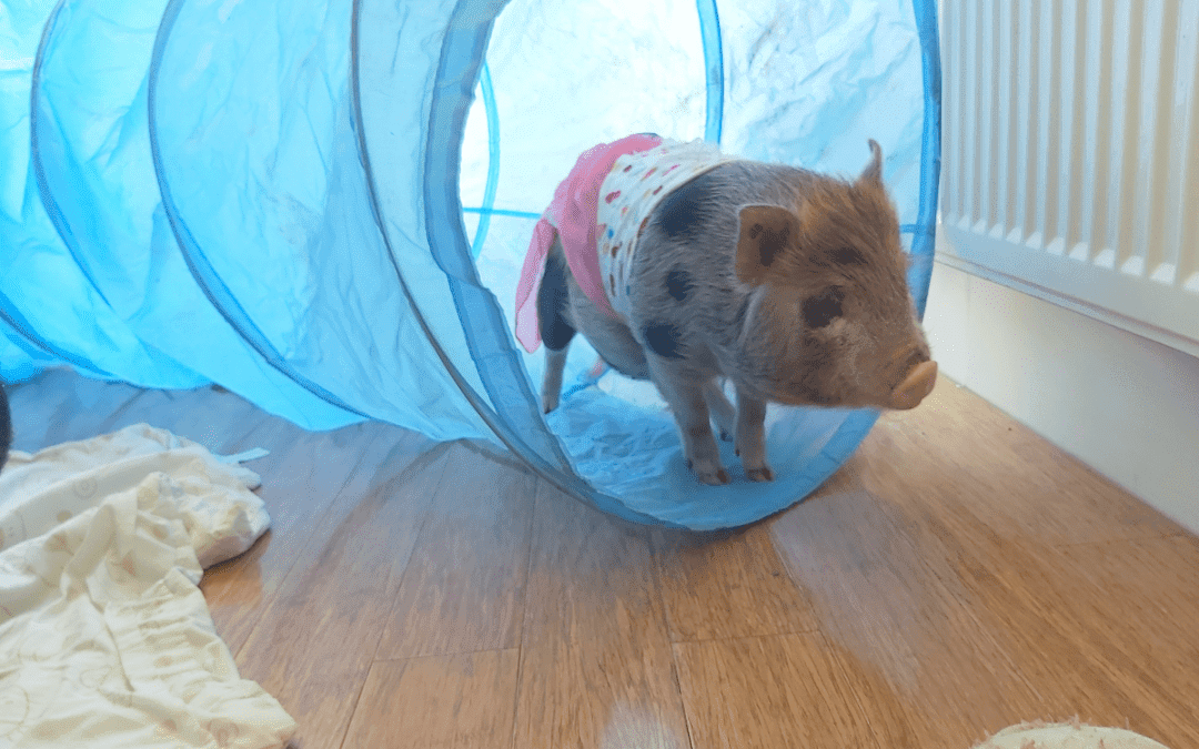 The Life of a Piglet: From Birth to Weaning. Part 3